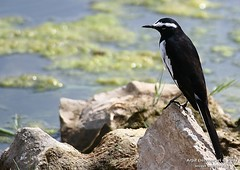 White-browed Wagtail or Large Pied Wagtail (Motacilla madaraspatensis) (Arpit - The Waders) Tags: india bird birds animals or wildlife large arpit pied waders gujarat wagtail jamnagar kutch greatrannofkutch motacilla birdphotography wildlifephotography birdsofindia indianbirds whitebrowed littlerannofkutch madaraspatensis arpitdeomurari deomurari wwwwadersin thebirdsofindia thebirdsofgujarat wildlfieofindia wildlifeofgujaratwildlifephotography birdsofgujarat birdsofjamangar birdsofkutch birdphotographygujarat birdsofjamnagar birdsofindiabirdsofkutchbirdsofjamnagarwadersbirdsofgulfofkutchjamnagarkutchgreatrannofkutchlittlerannofkutchgujaratindiaindianbirdsarpitwildlifephotographyarpitbirdphotographyarpitwadersphotography birdsofgulfofkutch arpitwildlifephotography arpitbirdphotography arpitwadersphotography gujaratphotography gujaratwildlifephotography gujaratbirdphotography arpitdeomurariwildlifephotography arpitdeomurariphotography kutchwildlifephotography kachchhwildlifephotography indiawildlifephotography