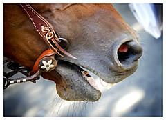 stockyards [whiskers and nasal passages] (slight clutter) Tags: horse flower animal closeup beard nose star texas teeth dental whiskers iloveflickr fortworth nasal nostrils bridle stockyards slightclutter katyahorner slightclutterphotography