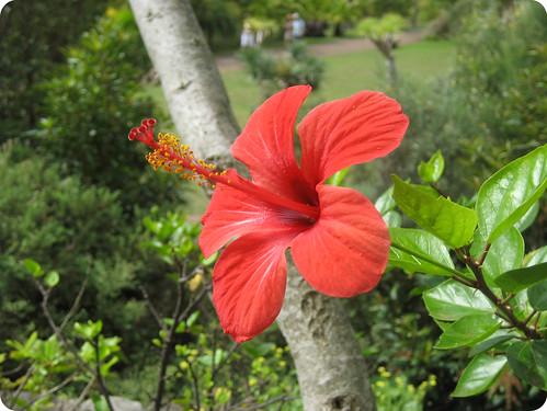 Hibiscus rojo antenoide