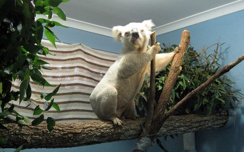 Aussie Mick, the rare white koala
