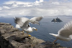 Gull Rage (An diabhal glas) Tags: world ocean life county ireland irish cliff heritage rock vertical stone century island coast michael early site high gull extreme great attack rocky lifestyle 9 kerry atlantic christian unesco huts monastery monks 600 summit miles celtic walls 12 language aggressive 230 7th beehive christians michaels steep monastic spartan ascetic conditions founded metre kilometres skellig monasteries remoteness sealgull sceilig mhichl clochans