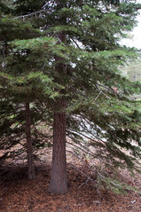 White Fir Photo