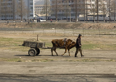 Man and his ox in Pyongyang - North Korea (Eric Lafforgue) Tags: poverty voyage travel color colour horizontal war asia korea ox asie 2008 coree northkorea ideology axisofevil dictatorship eastasia dprk boeuf coreadelnorte charrette juche stalinism nordkorea 5153 dictature democraticpeoplesrepublicofkorea    koreanpeninsula coreadelnord  stalinisme juchesocialistrepublic coreedunord rdpc  insidenorthkorea  rpdc charaboeuf  kimjongun coreiadonorte