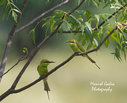 bee eater couple2