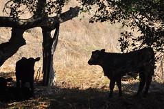 Moooooo (aquababe) Tags: statepark delete10 delete5 delete2 sanramon cows delete6 delete7 delete8 delete3 delete delete4 save save2 delete11 delete12 365juliedays project36612010
