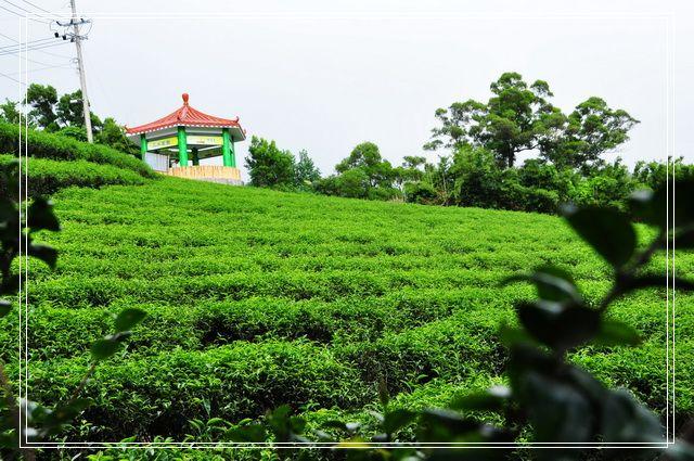 三水茗園~茶裡王12