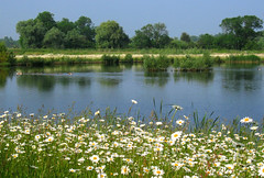 Wetlands: Daisy Pond (Tim Blessed) Tags: flowers trees lake green nature water landscape countryside geese pond scenery ducks naturesfinest unature unaturefav tribehorizon