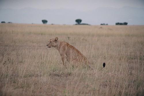 Uganda - QENP Female Lion  Watchful