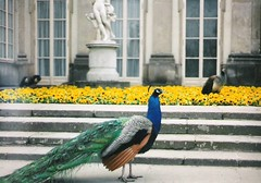 Lazienski Palace / Paac azienkowski and  peacocks in its gardens (sftrajan) Tags: 2004 poland polska peacock palace polen warsaw warszawa peafowl neoclassical pavo varsovie varsovia warschau pologne polsko    lenkija lengyelorszg    palaceonthewater posko  paacnawodzie asiatischepfauen varava azienkipark vars parkazienkowski paacazienkowski varuva pfglar