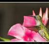 Ruby-throated Hummingbird (Momba (Trish)) Tags: pink flower bird nature birds interestingness nikon bravo hummingbird tennessee explore bloom nikkor rubythroated momba rubythroatedhummingbird naturesfinest blueribbonwinner nikond200 supershot i500 interestingness144 flickrsbest specanimal mywinners abigfave anawesomeshot avianexcellence naturewatcher lightstylus macromarvels explore26august2007