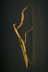Consolation prize (philliefan99) Tags: nature arlington insect virginia dcist arlingtonvirginia prayingmantis airforcememorial unitedstatesairforcememorial usafm photofaceoffwinner pfogold