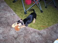 Attacking a Lion! Fierce! (bonkrood) Tags: puppy jinx chorkie