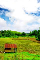 Paddy Field l  ( Simmy) Tags: green field landscape paddy sarawak malaysia borneo padi sibu naturesfinest diamondclassphotographer excellentphotographers excapture