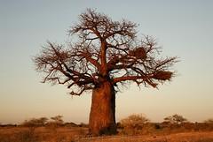 Early Morning Baobab (Makgobokgobo) Tags: africa zimbabwe baobab sentinel adansonia adansoniadigitata sentinelranch beitbridgedistrict