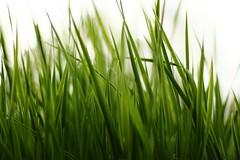 Green Grass II (e-driven) Tags: lund green grass canon sweden d500 500d 50mmf14usm
