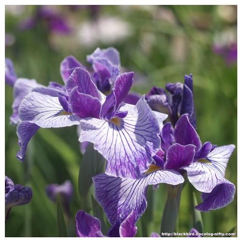 Jpapanese Iris 100609 #06