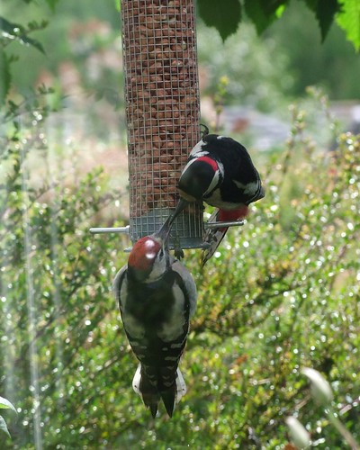 Great Spotted Woodpecker, father and son or daughter (3)