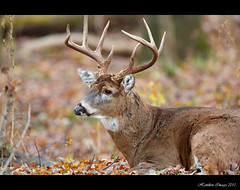 Big Guy Bedded Down (Hamilton Images) Tags: november ohio canon mammal deer toledo buck 500mm 2010 whitetaileddeer odocoileusvirginianus 10point 14xteleconverter img1401 5dmarkii
