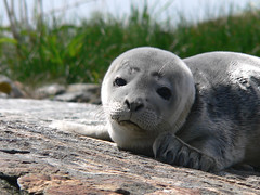 2007 06/10 seal rescue story: SCROLL DOWN - by yeimaya