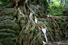 ({elaine}) Tags: tree japan subtropical