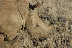 111 - Lewa - White Rhino (FO Travel) Tags: kenya nairobi nakuru karama lewa baringo naivasha turkana gabra chalbi suguta nariokotome kalacha loyangalani logipi