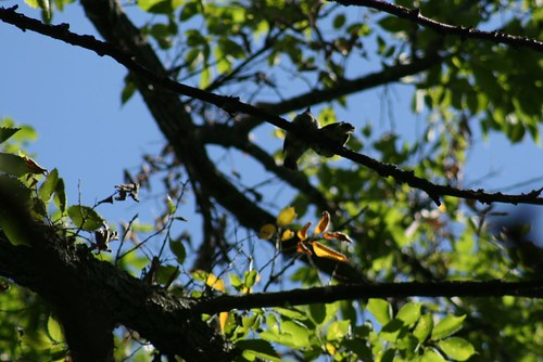 Fledgling Eastern Wood-Pewees