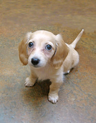 """Can we leave?  I am not sick."" (Doxieone) Tags: dog cute english puppy long cream dachshund honey blonde 100 haired coll longhaired honeydog englishcream pet100 1203725 honeyset"