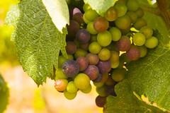 Portuguese Grapes