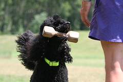 working (darleen2902) Tags: dog black poodles working darleen mywinners bringen