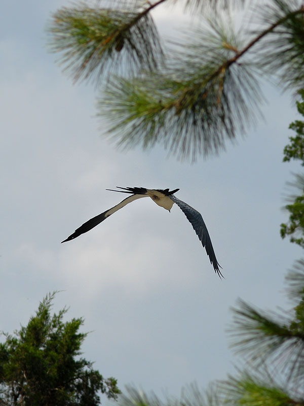 Swallow Tail Kite away
