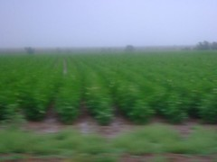 cotton (jypsygen) Tags: summer plants motion blur green oklahoma field fog rural grey countryside movement haze driving country line cotton crops agriculture hazy bushes frederick sown tillmancounty
