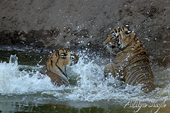 Play fighting tigers in Ranthambore (dickysingh) Tags: wild india nature outdoor wildlife tiger bigcat aditya ranthambore singh ranthambhore dicky animalkingdomelite ranthambhorebagh adityasingh dickysingh ranthamborebagh tigerfight baengaltiger theranthambhorebagh