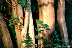 Crepemyrtle Trunks - by Big Grey Mare