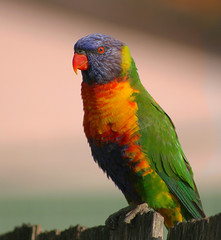 Another Fence Sitter (aussiegall) Tags: colour bird spring wings feather lorikeet australia rainbowlorikeet