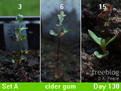 weedy cider gum seedlings; Numbers 3, 6 and 15