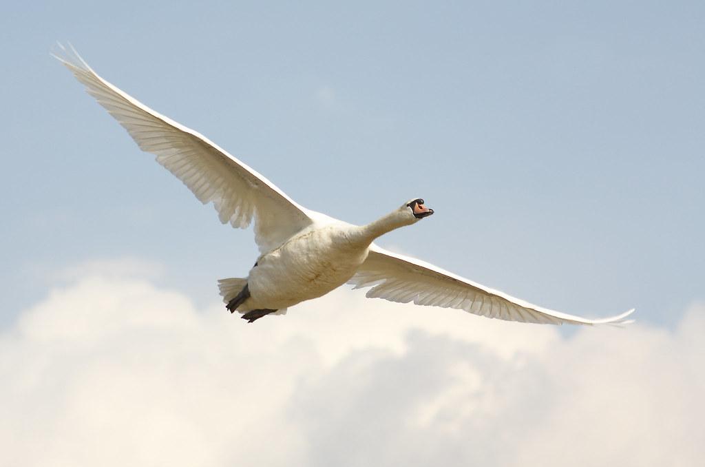 Mute swan in flight again 2
