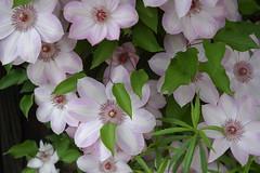 Clematis Vine (roddh) Tags: flower nikon d70s clematis roddh dsc66081
