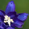 Rittersporn des Tages (KurtFML) Tags: flowers flower blumen mygarden larkspur rittersporn top20blue