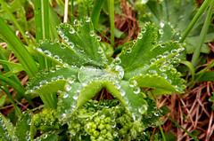 the beautiful side of a misty day (upsa-daisy) Tags: leave rain drops raindrops waterdrops blatt regen wassertropfen regentropfen