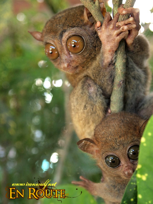 Tarsier Mother and Child