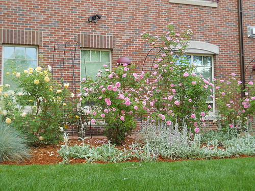 DU campus roses