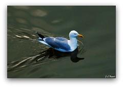 Gaviota en el  rio Onyar (juandelnastic) Tags: girona gerona