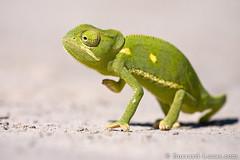 Flap-necked Chameleon (Will Burrard-Lucas   Wildlife) Tags: africa safari botswana chameleon flap okavango necked okavangodelta flapnecked viaflickrqcom