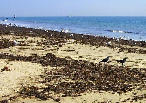 Ledbetter Crows