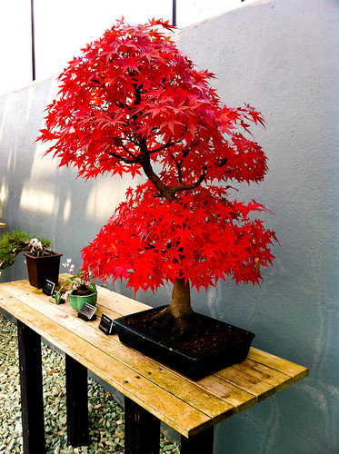 brooklyn bonsai