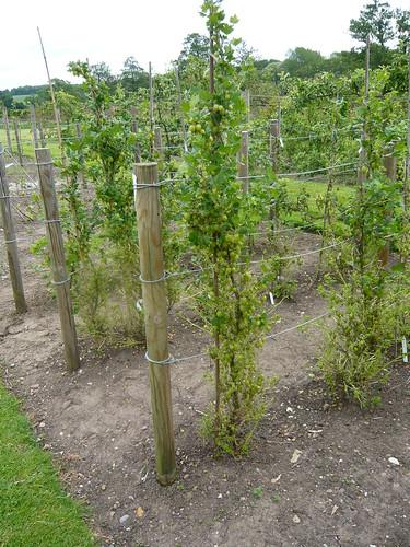 Cordon gooseberry