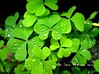 four leave clover