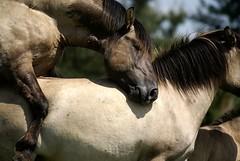 Mating (Astrid van Wesenbeeck photography) Tags: horses nature netherlands wildlife naturereserve wildhorses stallion paarden oostvaardersplassen konikhorses konikpaarden matinghorses