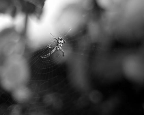 spider 1 bw