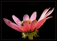 Echinacea (Rainer Fritz) Tags: flowers flower macro echinacea ultimateshot flickrelite